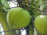 Coconut Water Consultancy Services