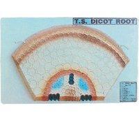 T.S. Dicot Root Model